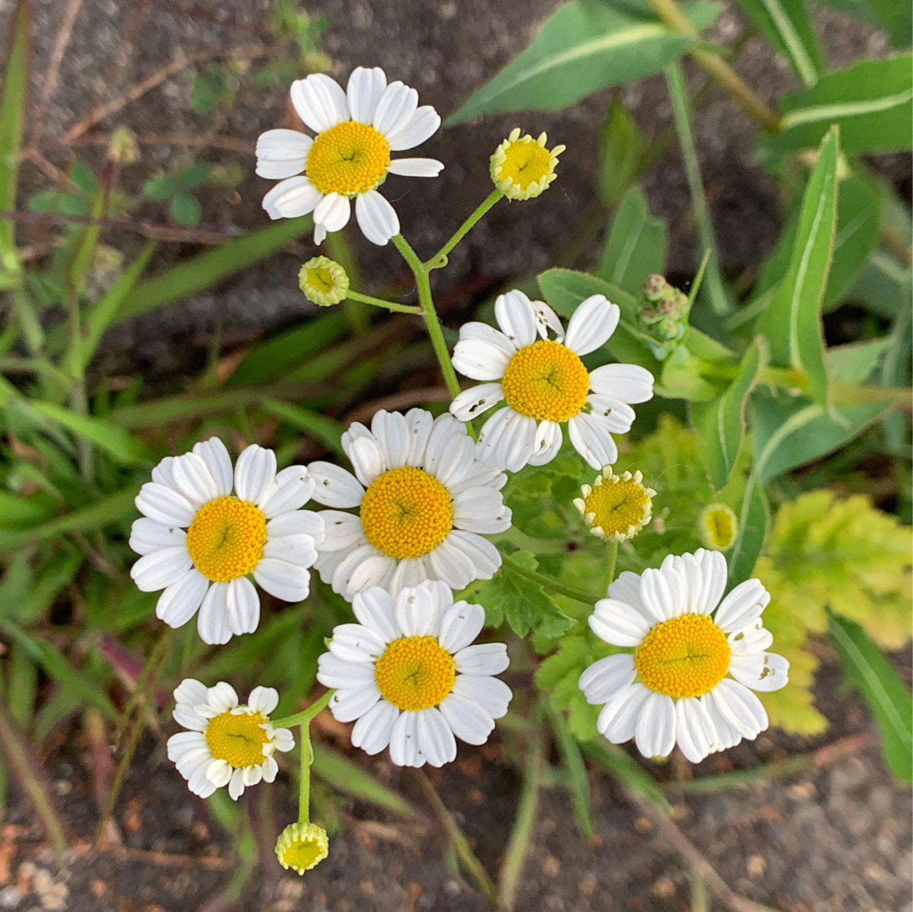 daisies maybe?