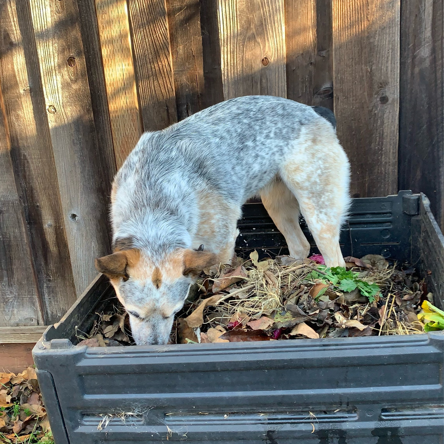 small australian cattle dog standing on top of a compost pile
