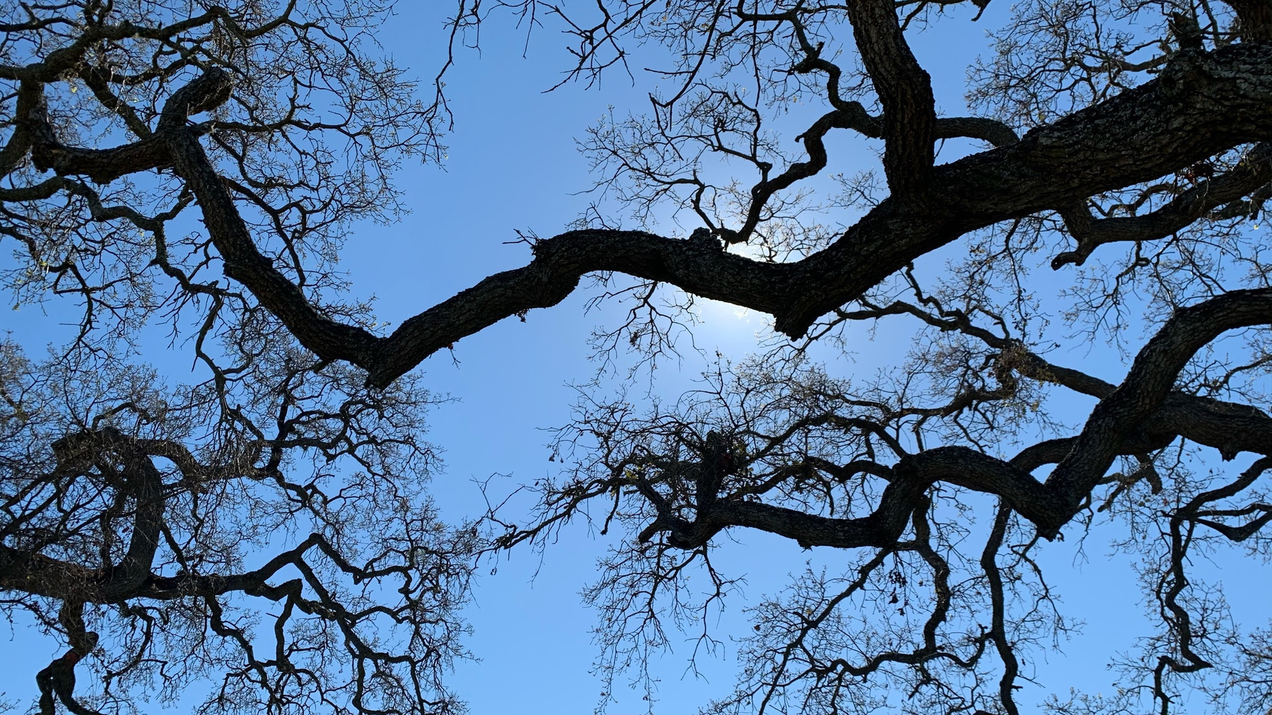 looking up into bare white oak branches back lit by the sun