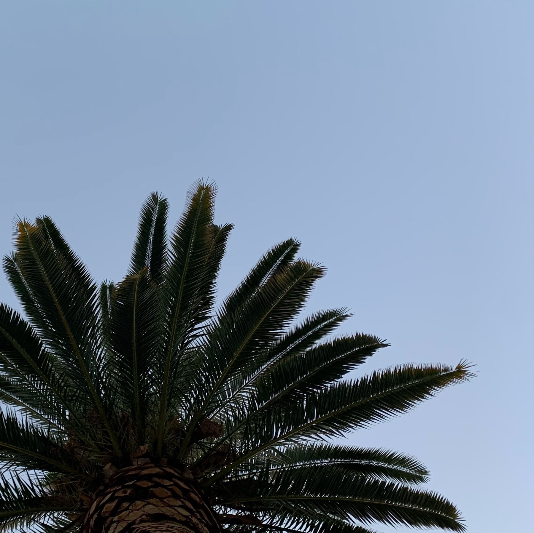 view looking up into a palm tree and clear evening sky