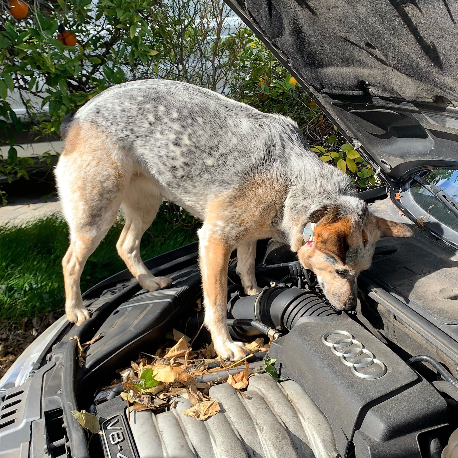 small cattle dog standing on a car engine, under an open hood