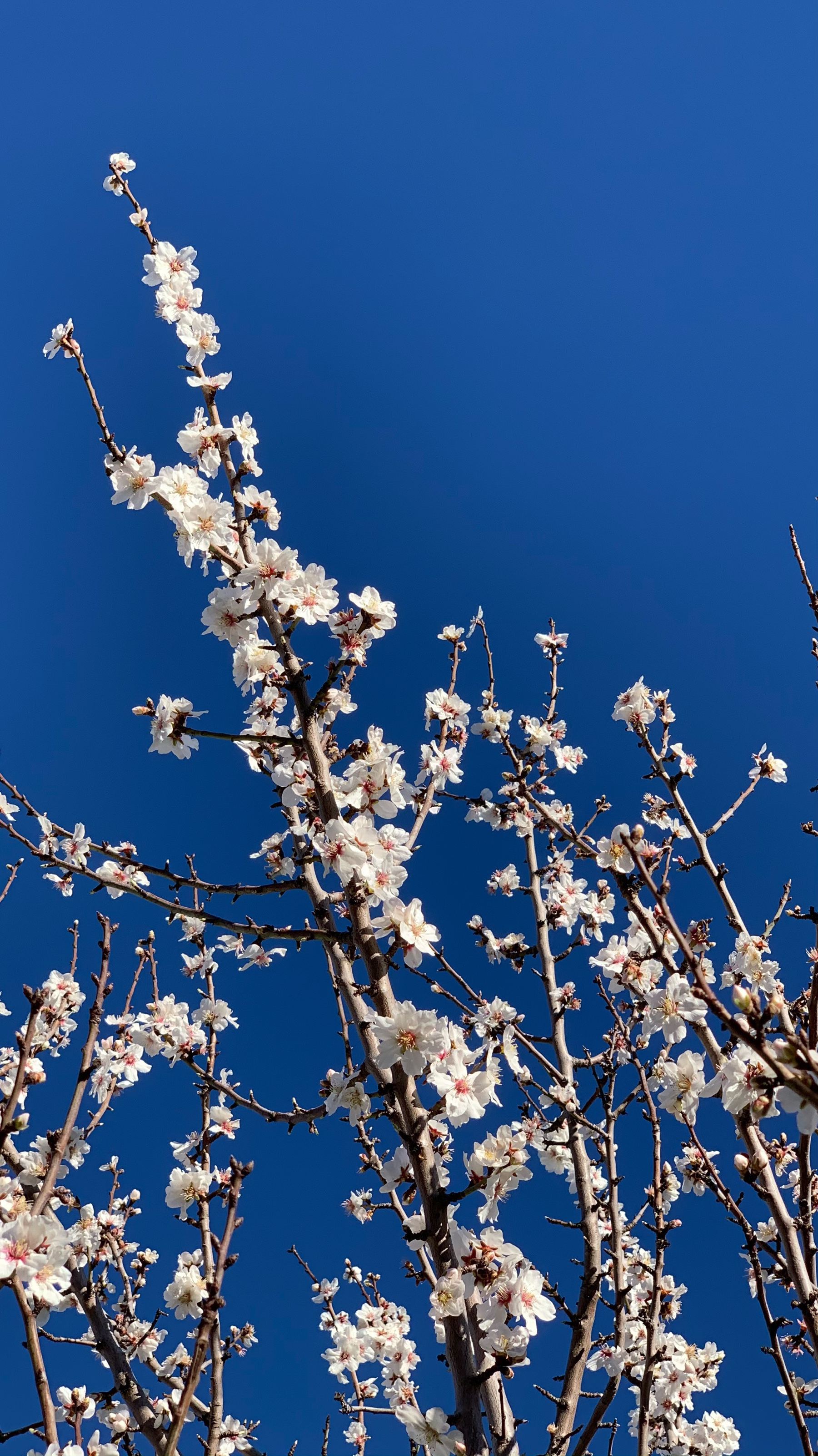 almond blossoms with a blue sky