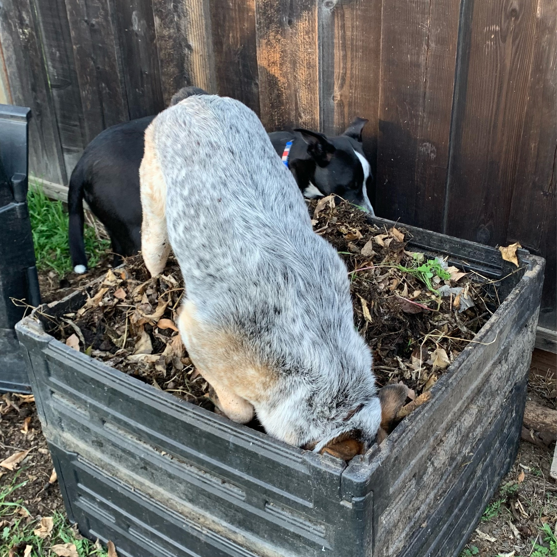 dog standing in a full compost bin with her nose buried